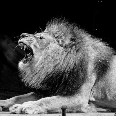 Lion Roaring Animals Advertising Photography London