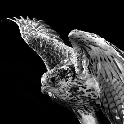 Falcon Animal Portrait Advertising photography London